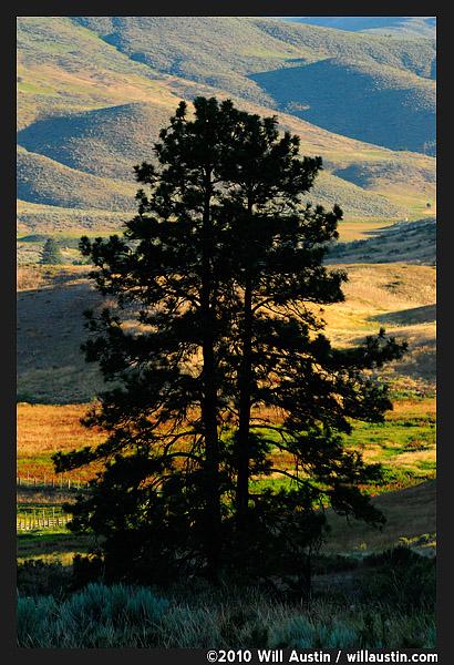 Pine tree silhouette in the Methow Valley near Twisp, WA