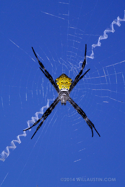 Hawaii Garden Spider on the Big Island photo by Will Austin
