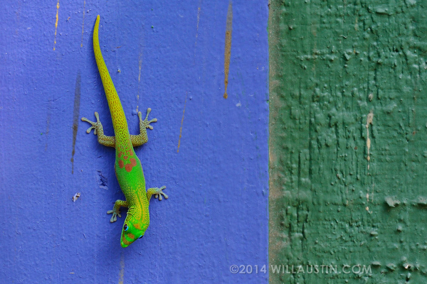 Gold Dust Day Gecko on Hawaii Big Island by Will Austin Photography