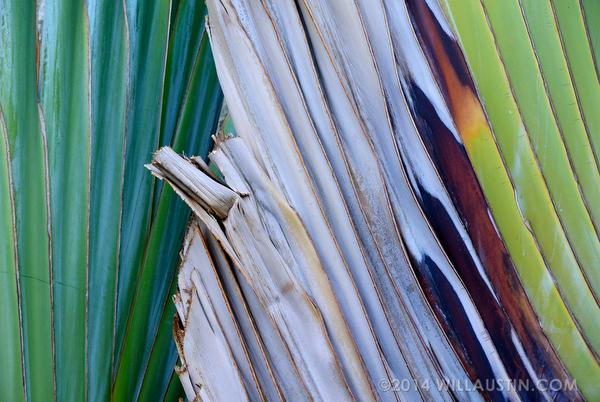 Traveller's Palm, Hawaii Big Island photo by Will Austin