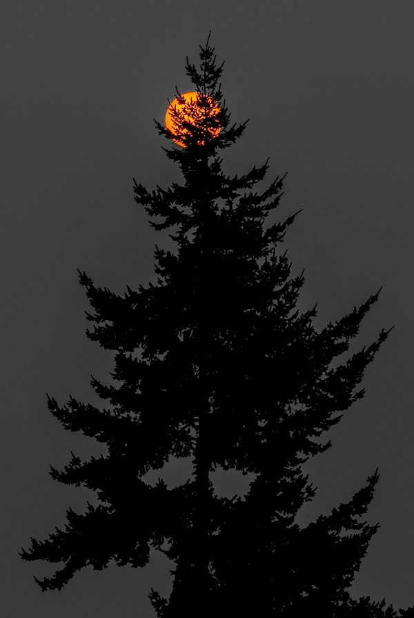 Sun and Douglas Fir tree photographed through forest fire smoke - Will Austin Photography