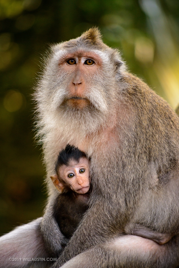 Monkey mother and baby in Bali Sacred Monkey Forest